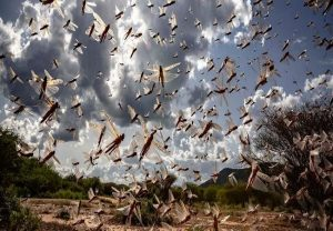 Some districts of Haryana brace for locust swarm attack