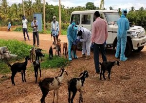 Corona scare for goats and sheep after shepherd tests positive; herd's swab taken, quarantined