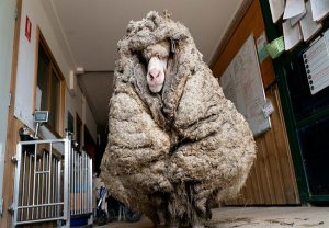 Baarack: Sheep with 35kgs of wool rescued in Australia, falls short of World Record (VIDEO)